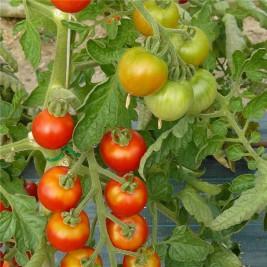 Tomate miel du Mexique Bio graines en folie