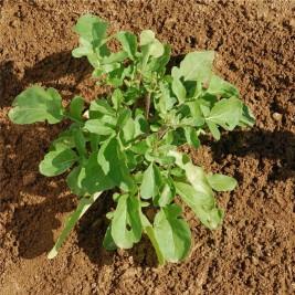 Roquette cultivée Bio graines en folie