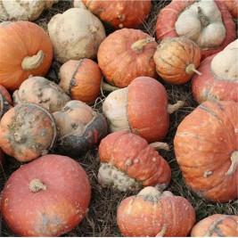 seeds Pumpkin small cap Turkish organic farm in sainte marthe