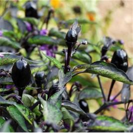 Organic seeds hot Pepper Purple