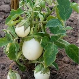 Organic seeds eggplant white round eggs