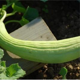 Graines bio melon concombre Armenien