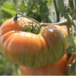 Tomate Ananas AB graines en folie